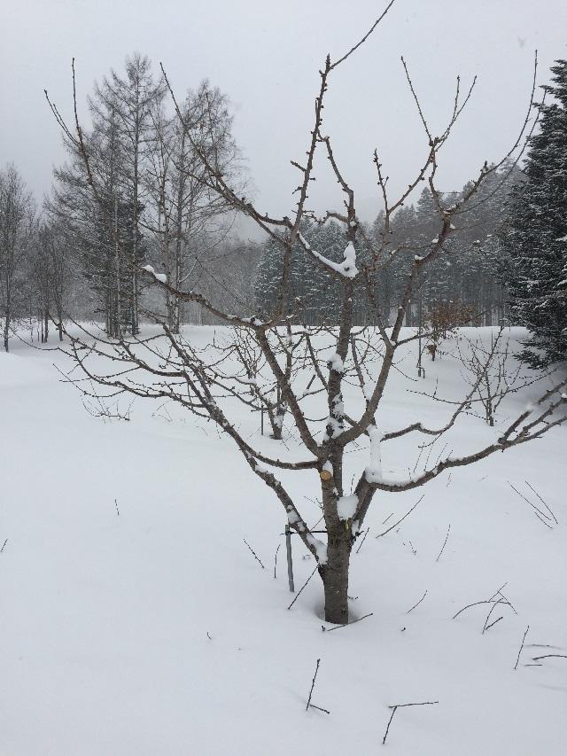 サクランボは、冬の剪定(せんてい)がとても重要なんです!!